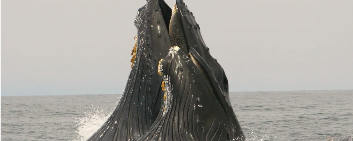 humpbacks, blue whales and more