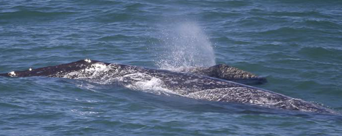 gray whale northbound migration