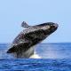 whale behaviors moss landing