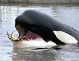 orca eating a crab