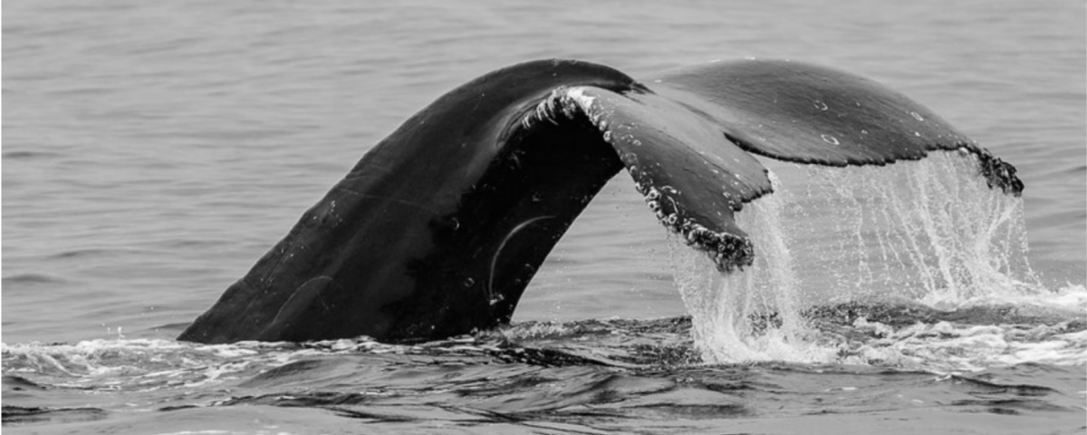 whale behavior- tail slapping